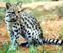 кошка Жоффруа (Felis geoffroyi, Oncifelis geoffroyi), фото, фотография с www.algarves.org
