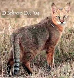 камышовый кот, болотная рысь (Felis chaus), фото, фотография