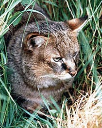 Болотная рысь felis chaus фото