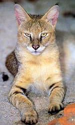 камышовый кот (Felis chaus), фото, фотография