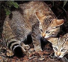 африканская дикая кошка, степная кошка (Felis lybica), фото, фотография