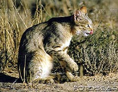степная кошка фото