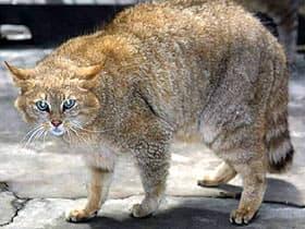 гобийская кошка, пустынная кошка, китайская горная кошка (Felis bieti), фото, фотография с www.kedi.ws