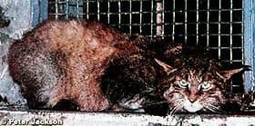 гобийская кошка, китайская горная кошка (Felis bieti), фото, фотография