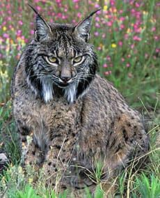иберийская рысь (Lynx pardinus), фото, фотография с http://www.arrakis.es/~asabater/