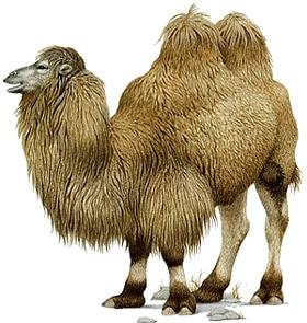 двугорбый верблюд, бактриан, хабтагай (Camelus bactrianus), фото, фотография с http://www.dkimages.com/