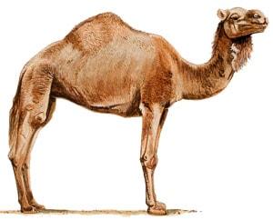 одногорбый верблюд, дромадер (Camelus dromedarius), фото, фотография с http://www.dkimages.com/