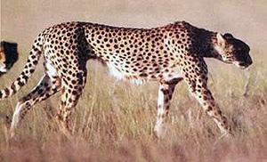 гепард (Acinonyx jubatus), фото, фотография