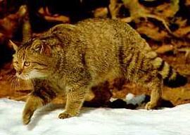 лесной кот, дикий кот (Felis silvestris), фото, фотография
