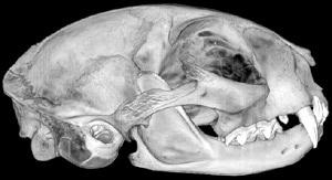 череп лесной кота (Felis silvestris), фото, фотография