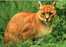Золотистая африканская кошка (Profelis aurata, Felis aurata), фото, фотография