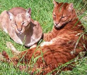 африканская золотая кошка (Profelis aurata, Felis aurata), фото, фотография с http://awcc-online.com/