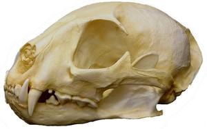череп африканской золотой кошки (Profelis aurata, Felis aurata), фото, фотография