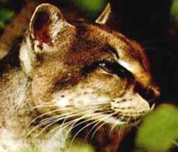 голова золотистой африканской кошки (Profelis aurata, Felis aurata), фото, фотография