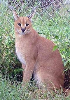каракал, степная рысь (Felis caracal, Caracal caracal)