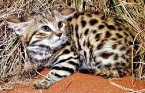 черноногая кошка (Felis nigripes), фото, фотография с http://www.quantum-conservation.org/