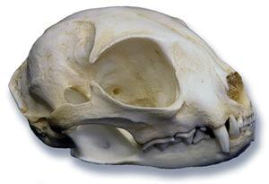 череп черноногой кошки (Felis nigripes), фото, фотография