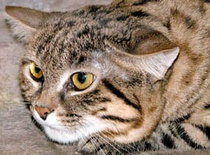 черноногая кошка (Felis nigripes), фото, фотография