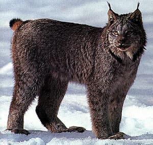 Канадская рысь, североамериканская рысь (Lynx canadensis), фото, фотография с http://www.animalpicturesarchive.com/