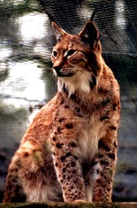 Канадская рысь (Lynx canadensis), фото, фотография c http://www.catsurvivaltrust.org/