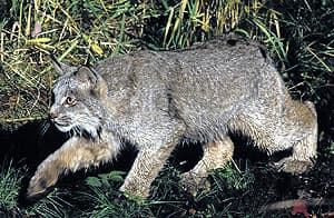 Канадская рысь (Lynx canadensis), фото, фотография