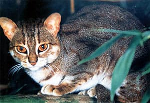 ржавая кошка, рыжий пятнистый кот (Prionailurus [Felis] rubiginosa), фото, фотография