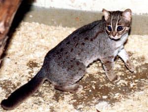 пятнисто-рыжая кошка, рыжий пятнистый кот (Prionailurus [Felis] rubiginosa), фото, фотография