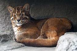 калимантанская кошка, красный кот Борнео (Catopuma badia, Felis badia), фото, фотография