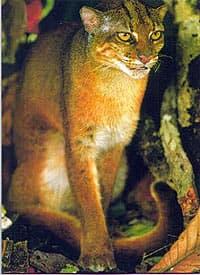 калимантанская кошка (Felis badia), фото, фотография