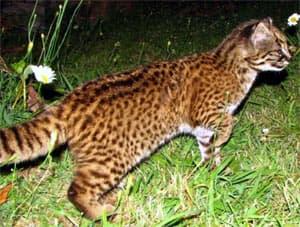 южноамериканский кодкод (Oncifelis guigna), фото, фотография с http://www.felineconservation.org/