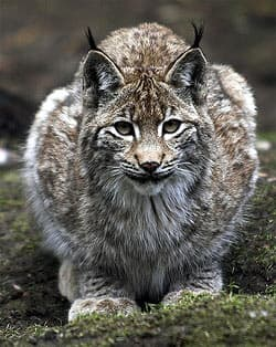 рысь (Lynx lynx), фото, фотография с http://farm1.static.flickr.com/