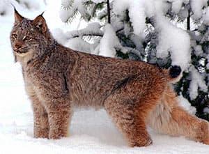 европейская рысь (Lynx lynx), фото, фотография c http://www.moggyblog.com/blogs/