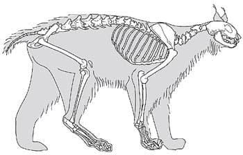 скелет европейской рыси (Lynx lynx), фото, фотография c http://www.archeozoo.org/