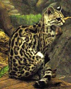 длиннохвостая американская кошка, маргай (Felis wiedi, Leopardus wiedii), фото, фотография