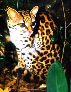 длиннохвостая американская кошка (Felis wiedi, Leopardus wiedii), фото, фотография