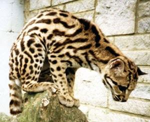 маргай (Felis wiedi, Leopardus wiedii), фото, фотография