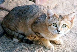 барханная кошка, песчаная кошка (Felis margarita), фото, фотография