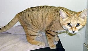 песчаная кошка (Felis margarita), фото, фотография