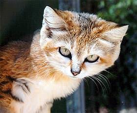 барханная кошка (Felis margarita), фото, фотография