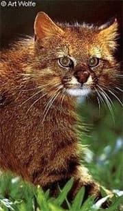 пампасская кошка (Felis colocolo, Leopardus colocolo), фото, фотография