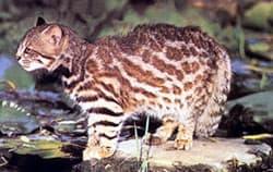 пампасская кошка (Leopardus colocolo), фото, фотография
