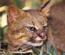 пампасская кошка (Felis colocolo), фото, фотография
