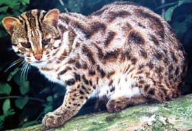 бенгальская карликовая кошка, леопардовая кошка (Prionailurus bengalensis, Felis bengalensis), фото, фотография