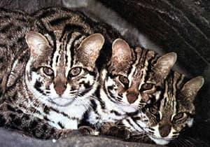Бенгальская карликовая кошка (Felis bengalensis), фото, фотография с http://www.terrambiente.org/