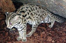 Бенгальская карликовая кошка, дальневосточный кот (Prionailurus bengalensis), фото, фотография