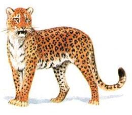 дальневосточный леопард (Panthera pardus orientalis), фото, фотография с http://nature.ok.ru