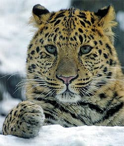 восточносибирский леопард (Panthera pardus orientalis), фото, фотография с http://farm1.static.flickr.com/