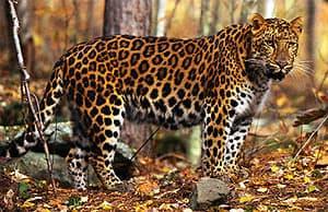 амурский леопард (Panthera pardus orientalis), фото, фотография с http://pro.corbis.com/