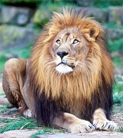 лев (Panthera leo), фото, фотография с http://ryanphotographic.com