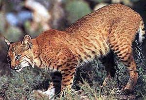 рыжая рысь, красная рысь (Lynx rufus, Felis rufus), фото, фотография